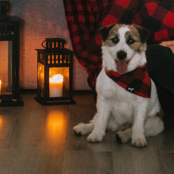 DAREL Hodowla Psów Rasy Jack Russell Terrier