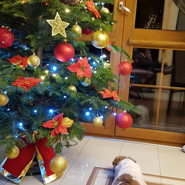 Jack Russell Terrier DAREL