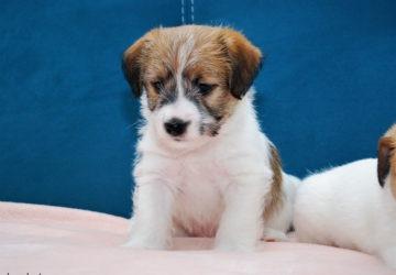 Miot D | DAREL Hodowla jack russell terrier JRT