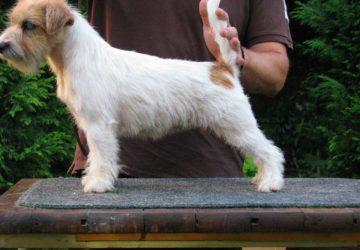 HEARTILY KIA | DAREL Hodowla jack russell terrier JRT