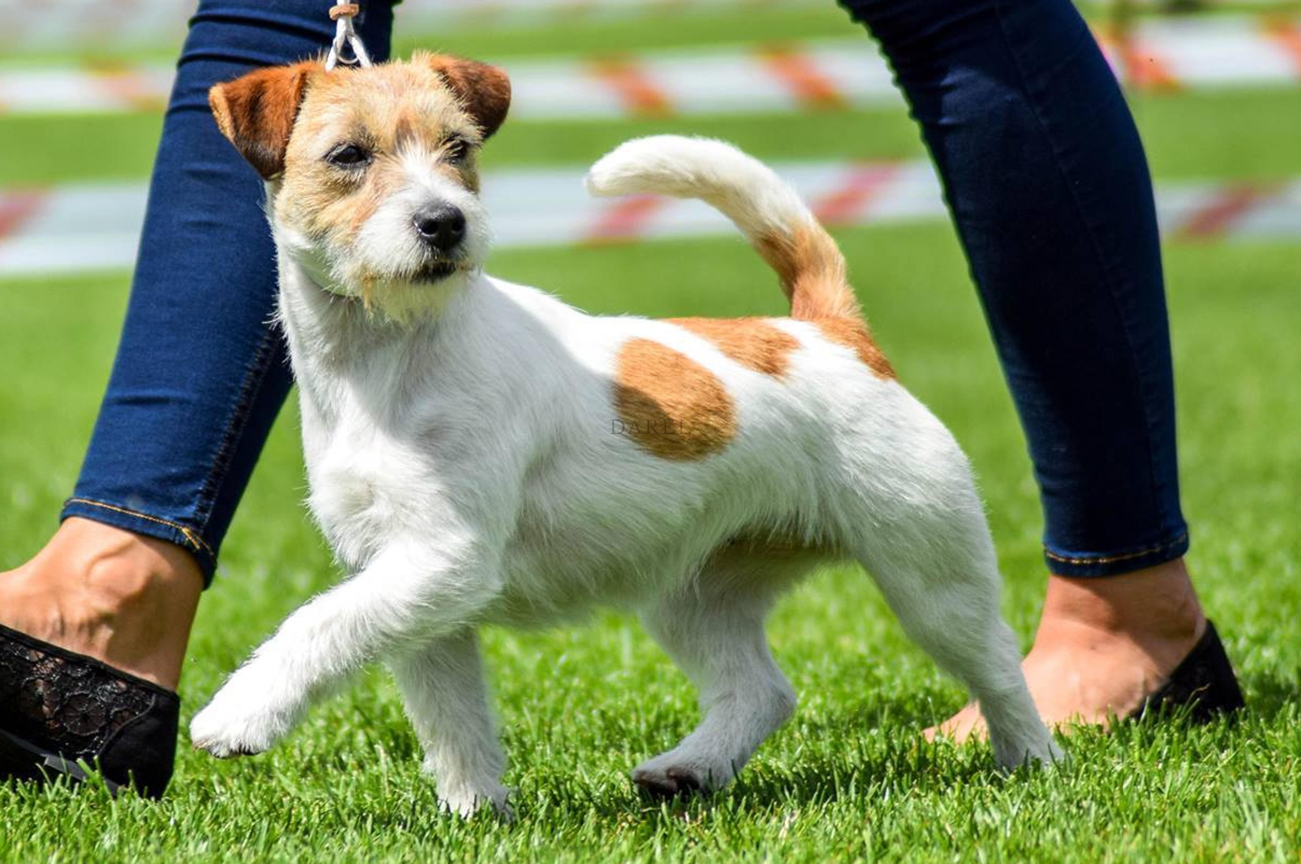 WIKI Popeye | DAREL Hodowla jack russell terrier JRT