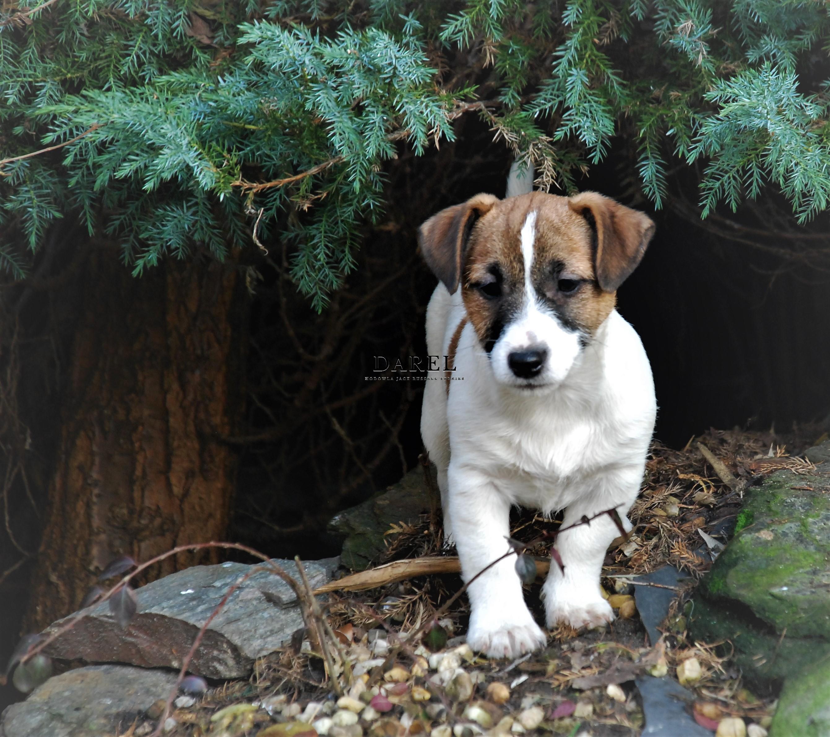 DEMI | DAREL Hodowla jack russell terrier JRT