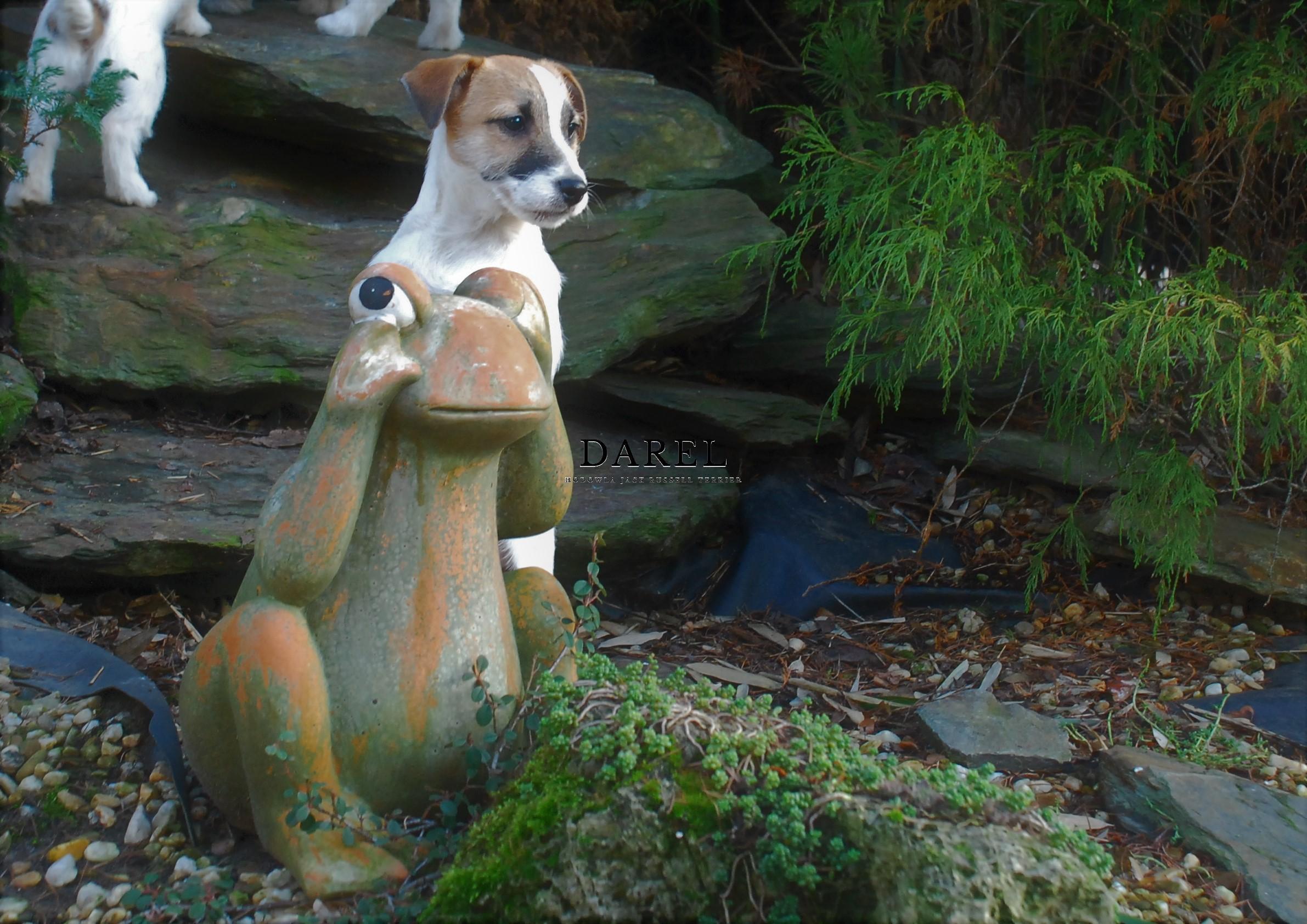 DASZA   DAREL Hodowla jack russell terrier JRT