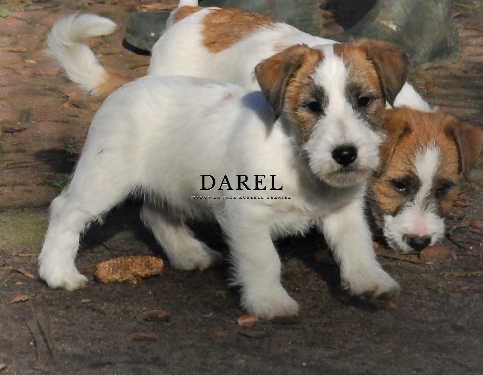 DIESEL | DAREL Hodowla jack russell terrier JRT