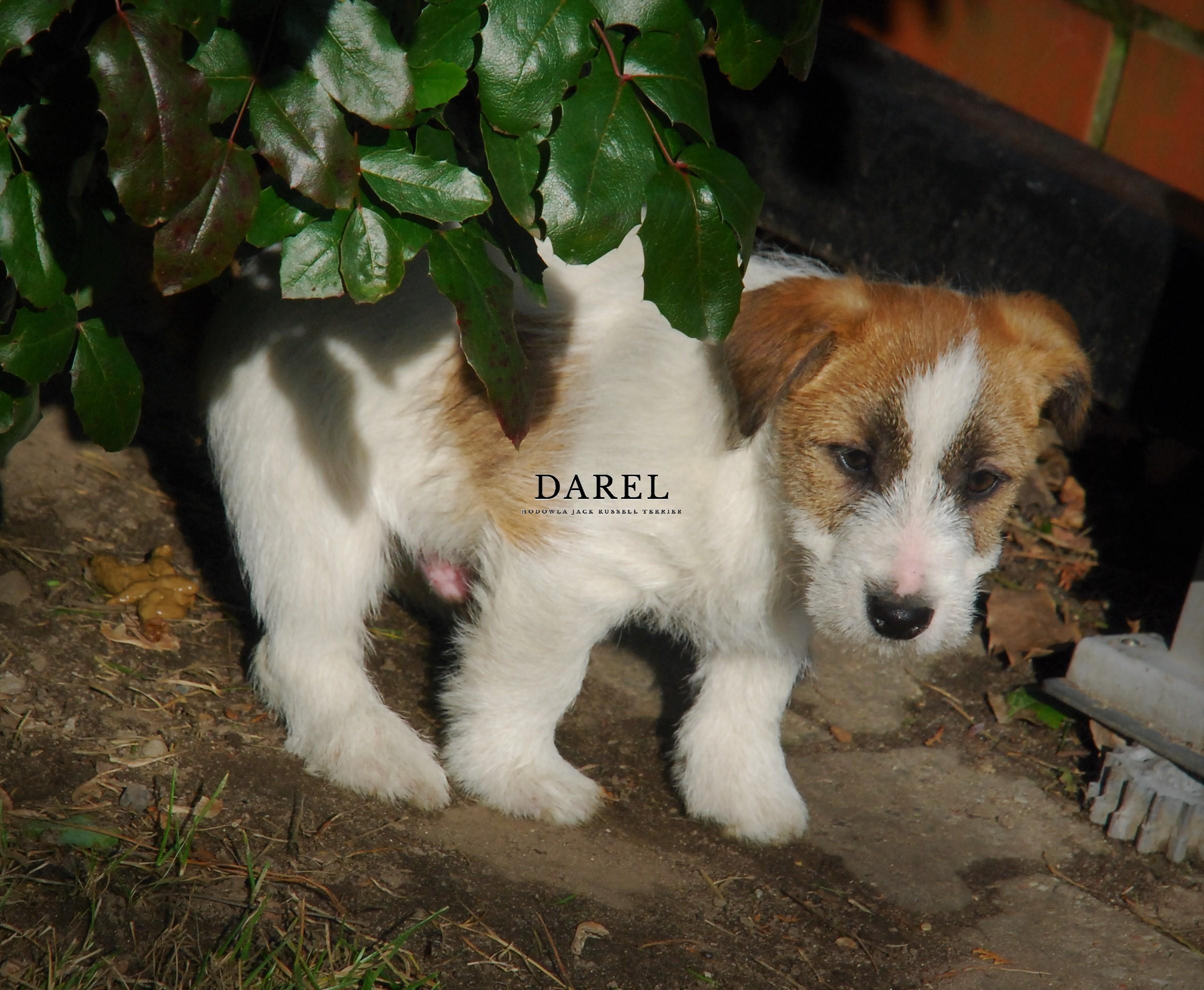 DAKAR | DAREL Hodowla jack russell terrier JRT