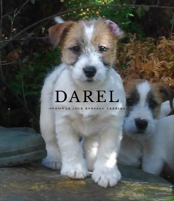 DAKOTA | DAREL Hodowla jack russell terrier JRT