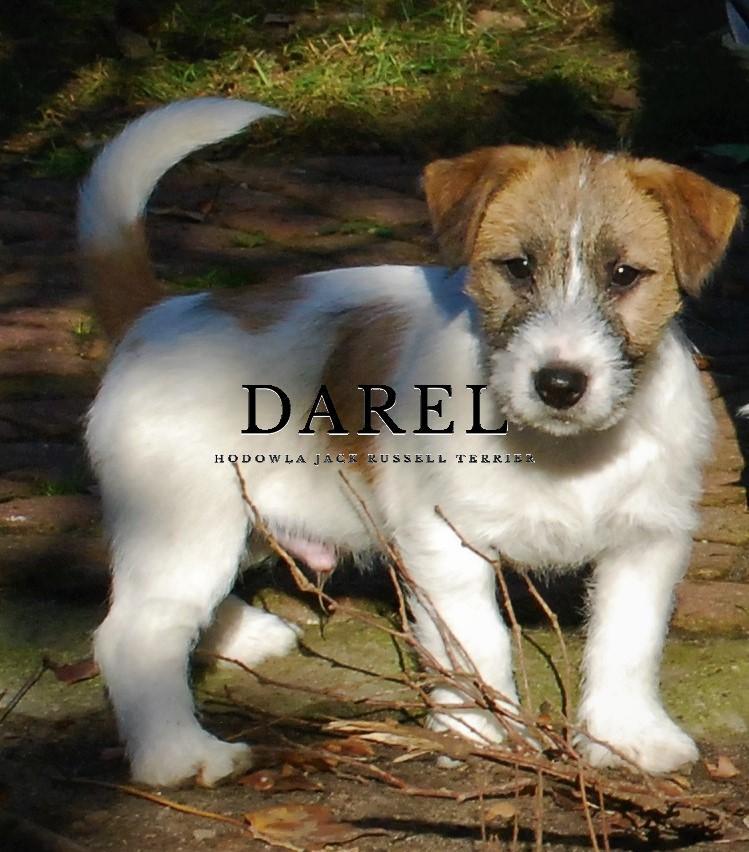 DYLAN | DAREL Hodowla jack russell terrier JRT
