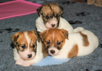 Miot R | DAREL Hodowla jack russell terrier JRT