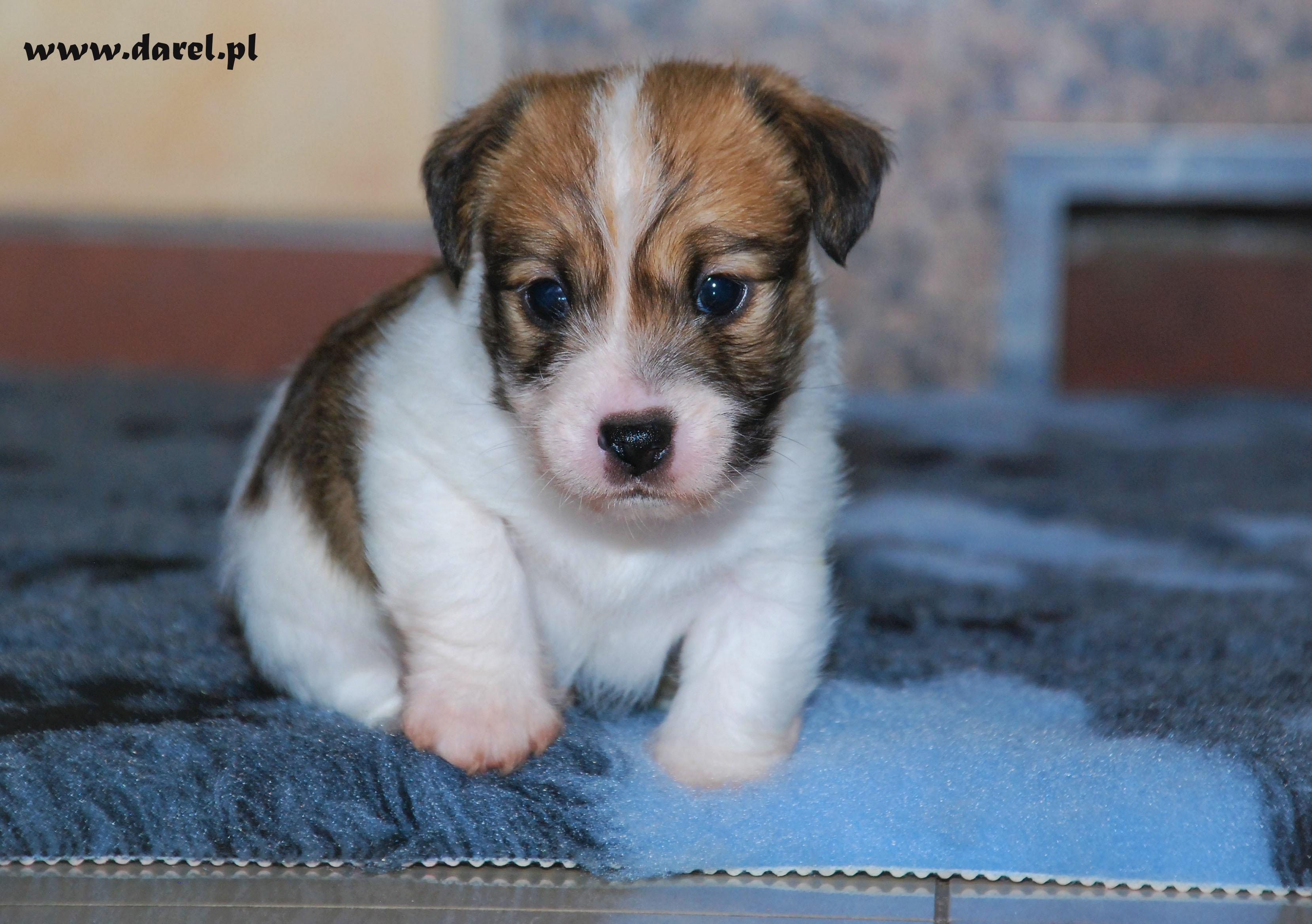 RIKI | DAREL Hodowla jack russell terrier JRT
