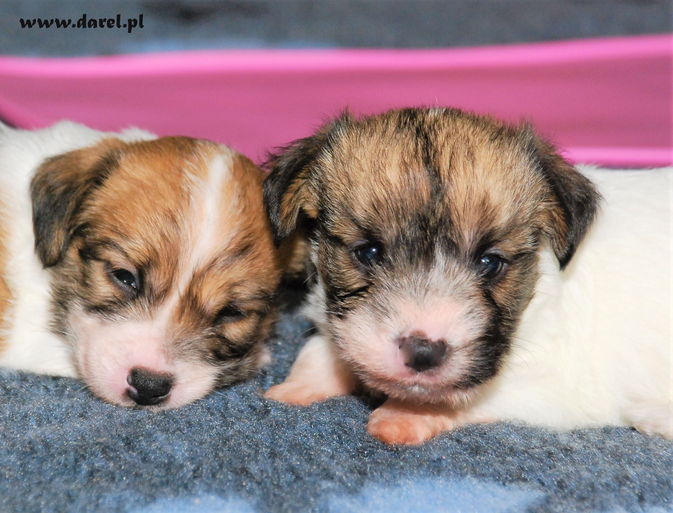 REINA | DAREL Hodowla jack russell terrier JRT