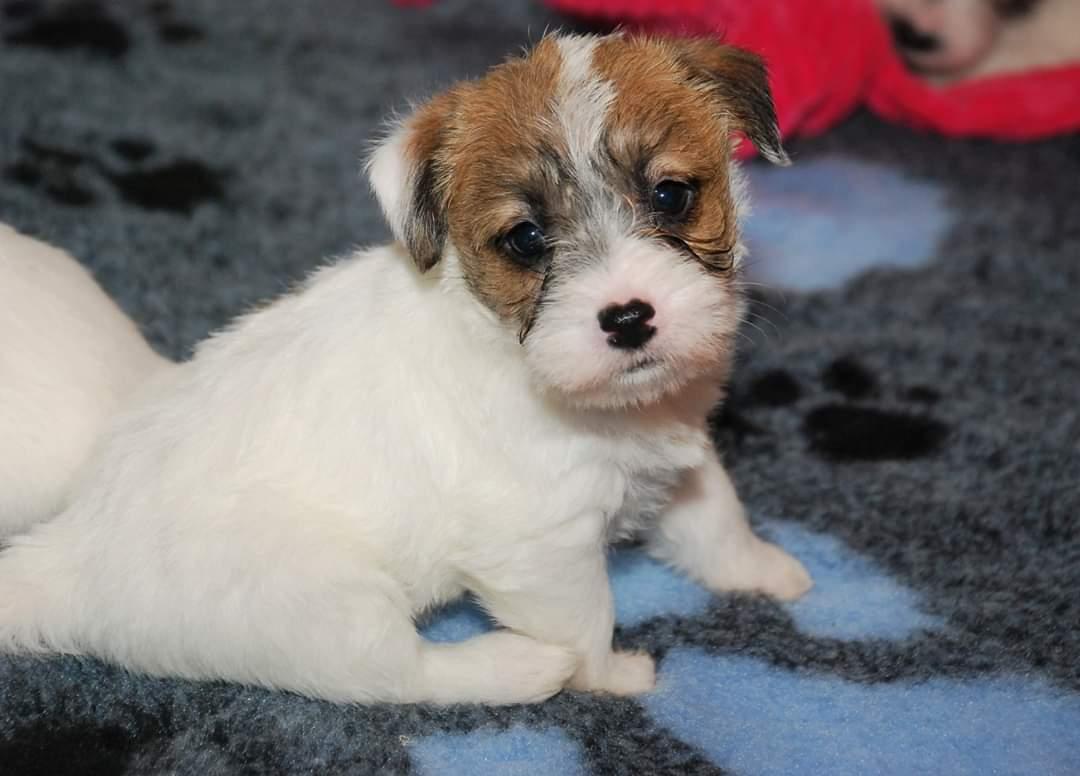 SARA | DAREL Hodowla jack russell terrier JRT