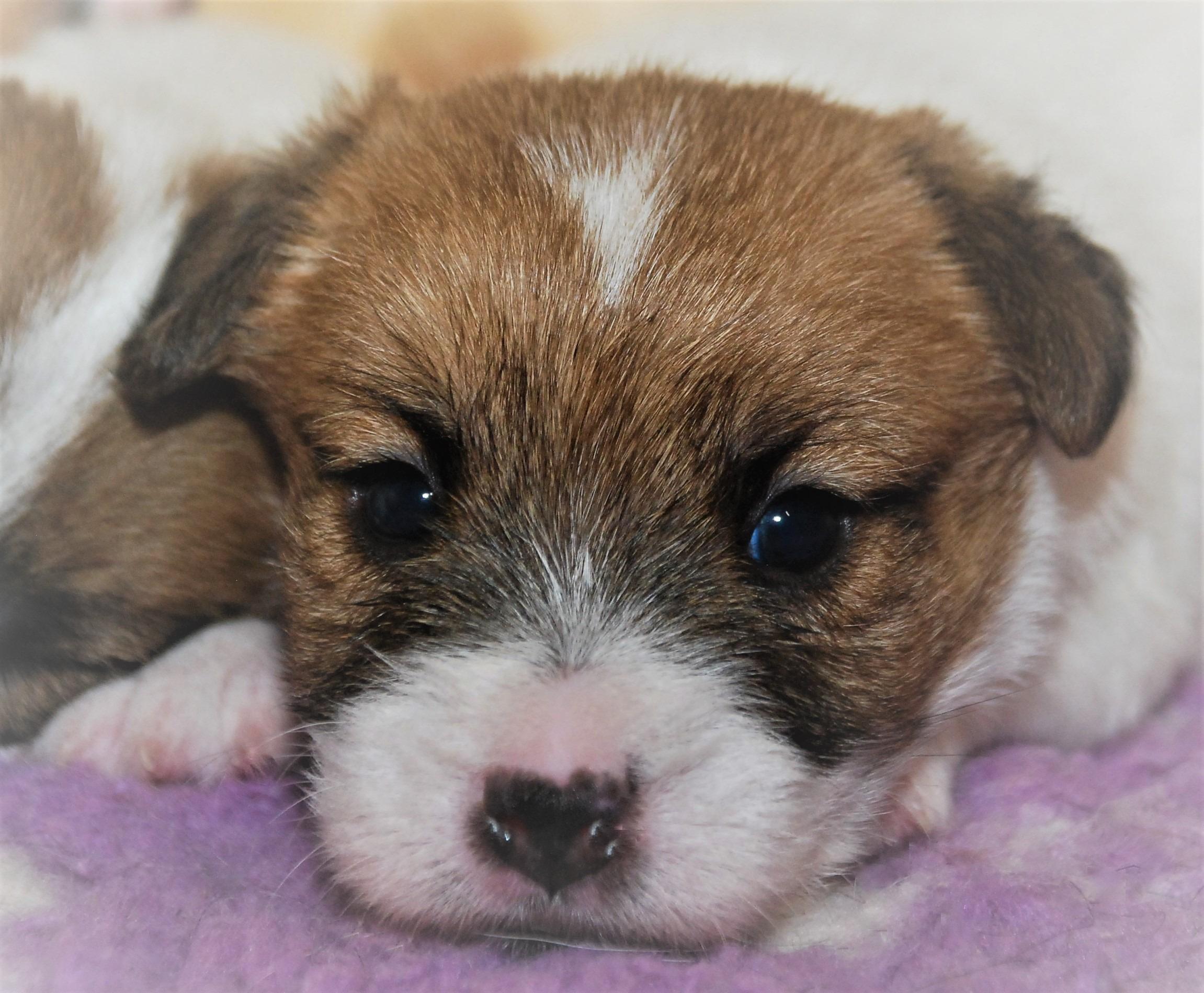 SUBARU | DAREL Hodowla jack russell terrier JRT