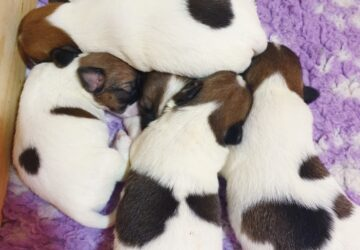 Miot T | DAREL Hodowla jack russell terrier JRT